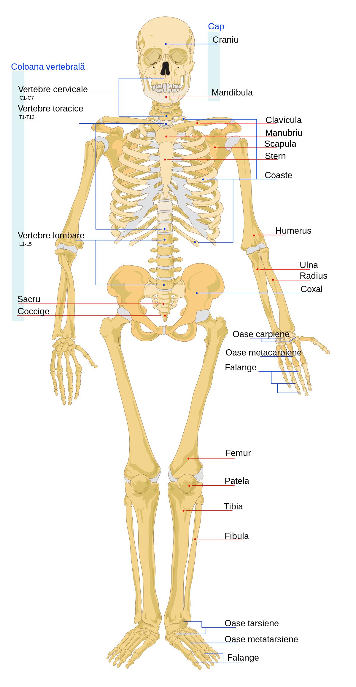 durerea în sacru dă articulațiilor