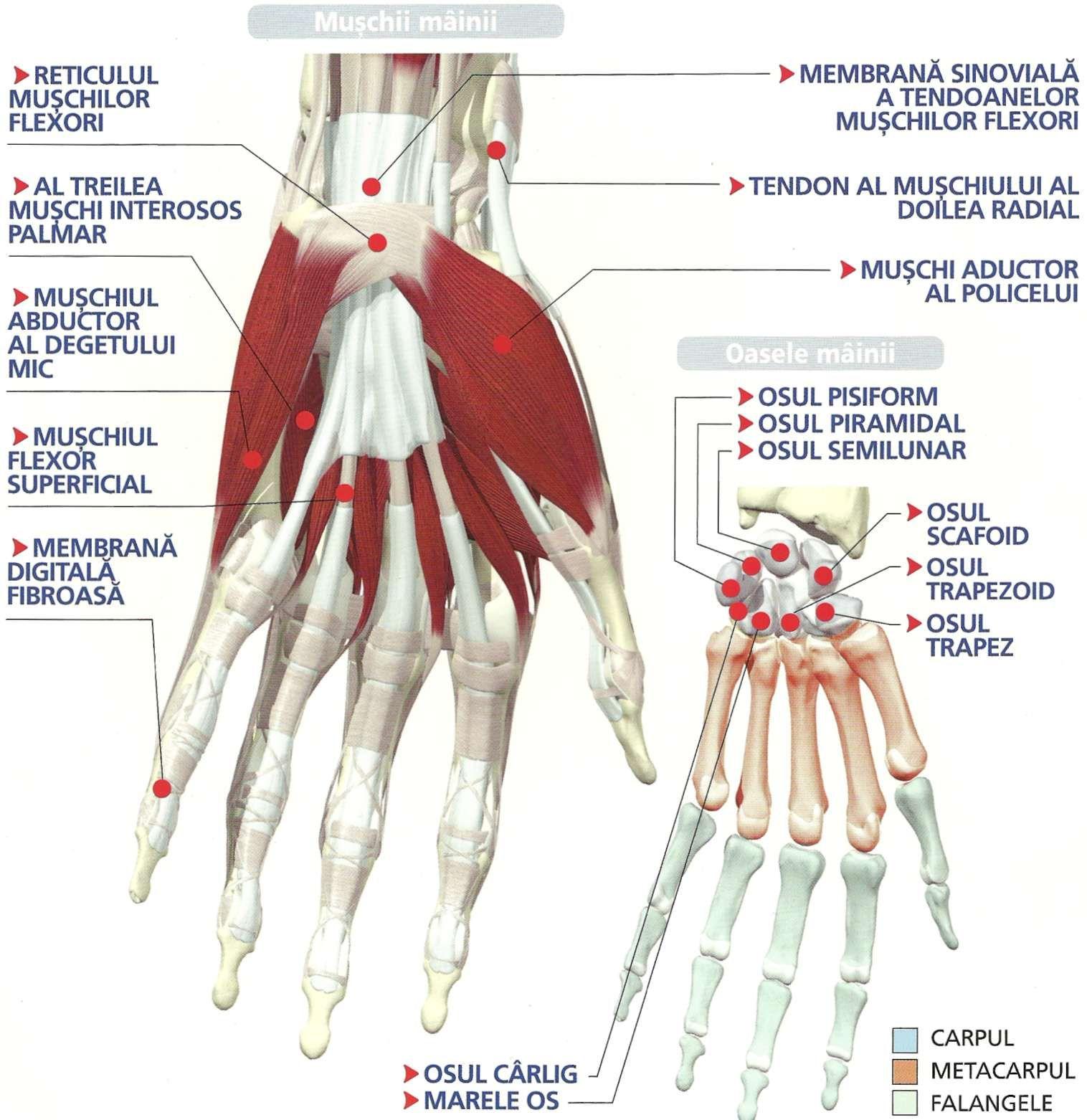boli ale articulațiilor și mușchilor mâinilor