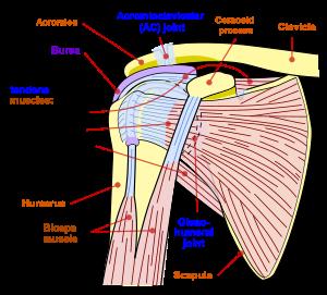 durere în articulațiile umărului și în fosa