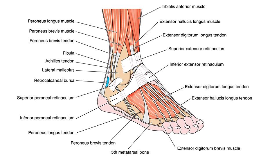 durere în articulația gleznei și arcul piciorului medicament de top pentru articulații