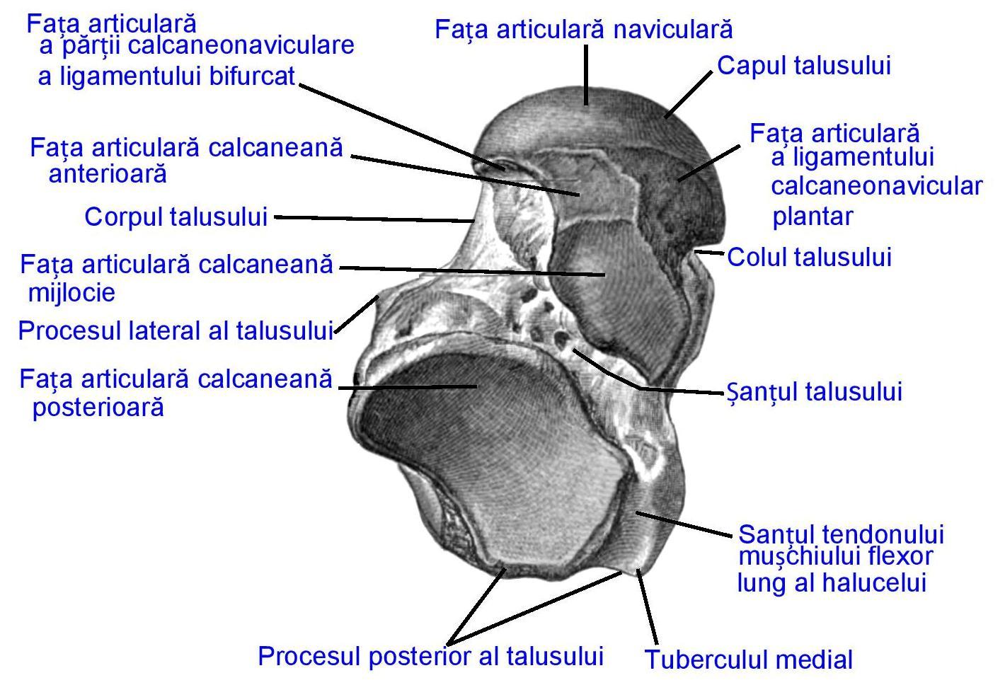 artroza articulațiilor talusului navicular de gradul I boala articulației caprinei